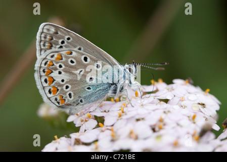 Adonis blue (Polyommatus bellargus) butterfly - Stock Photo