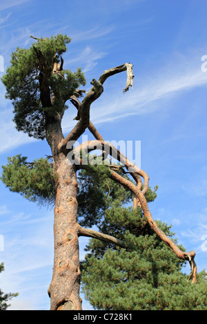 Damaged pine tree in Nonsuch Park Ewell Surrey England UK - Stock Photo