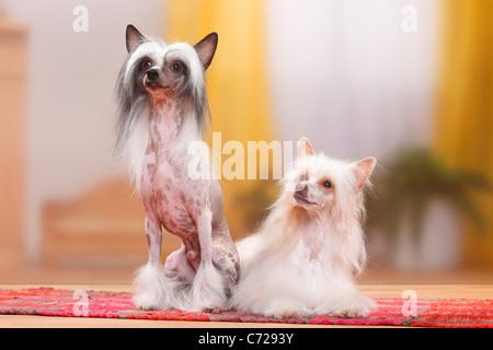 Chinese Crested Dogs, pair, hairless and powderpuff / powder puff - Stock Photo