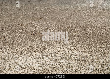 Soldier crabs (Mictyris longicarpus) on beach, Florence Bay, Magnetic Island, Queensland, Australia - Stock Photo