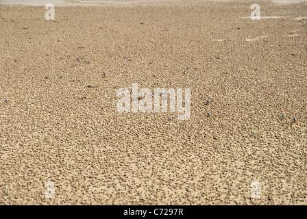 Soldier crabs (Mictyris longicarpus) , Florence Bay, Magnetic Island, Queensland, Australia - Stock Photo