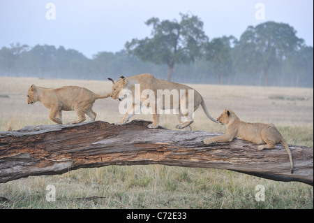 East African lion - Massai lion (Panthera leo nubica) lioness & cubs playing on a fallen dead tree trunk at Maasai - Stock Photo