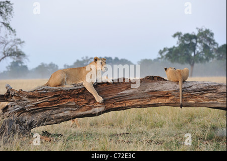 East African lion - Massai lion (Panthera leo nubica) lioness & cub laying on a fallen dead tree trunk at Maasai - Stock Photo