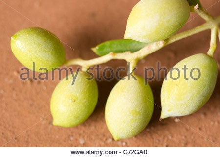 Young olives growing on an olive tree - Stock Photo