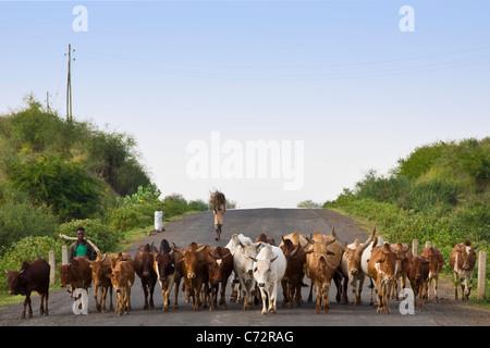 Herd of cattle near Arba Minch, Ethiopia - Stock Photo