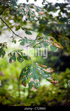 Damaged leaves of the Horse Chestnut Tree caused by the Horse Chestnut leaf miner  moth - Cameraria ohridella - Stock Photo