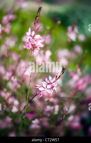 Gaura lindheimeri 'Whirling Butterflies' Butterfly - Stock Photo