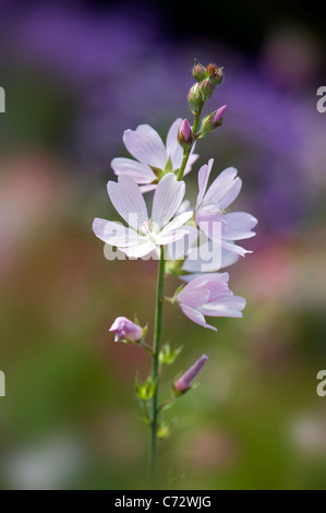 Close-up image of the beautifulLavatera trimestris whte flowers , also known as tree Mallow. - Stock Photo