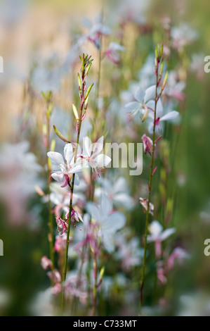 Close-up image of Gaura lindheimeri 'Whirling Butterflies' gaura pink and white flowers taken against a soft background - Stock Photo