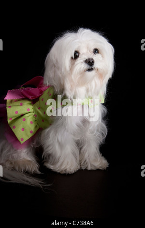 Maltese puppy dressed up in tutu on a black background - Stock Photo
