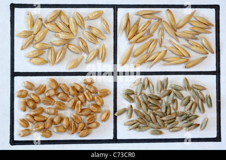 Various cereals: Barley (Hordeum distichon), Oats (Avena sativa), Wheat (Triticum aestivum) and Rye (Secale cereale). - Stock Photo