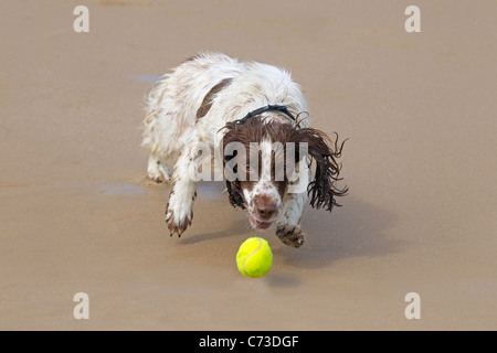 English Springer Spaniel chasing a ball on sandy beach - Stock Photo