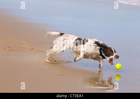 English Springer Spaniel chasing ball on beach - Stock Photo