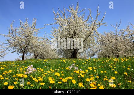 Cherry blossom at Eggenen valley near Obereggenen, Markgraefler Land, Black Forest, Baden-Wuerttemberg, Germany - Stock Photo