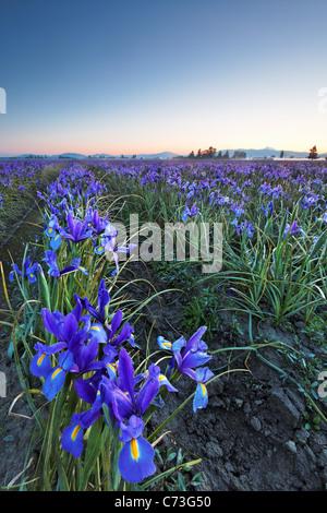 Field of blue iris, Skagit Valley, Mount Vernon, Washington - Stock Photo