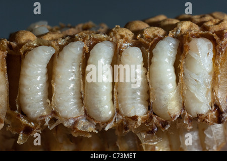 Honey Bee (Apis mellifera, Apis mellifica). Close-up of honeycomb with opened cells, showing male larvae in each - Stock Photo