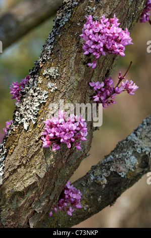 Judas tree cercis siliquastrum with flowers growing directly out of stock photo royalty free - Flowers that grow on tree trunks ...