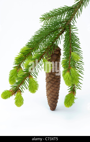 Common Spruce, Norway Spruce (Picea abies). Twig with fresh sprouts and cone. Studio picture against a white background. - Stock Photo