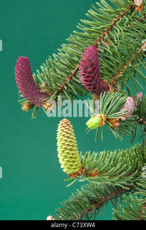 Common Spruce, Norway Spruce (Picea abies). Twig with male and female flowers. - Stock Photo