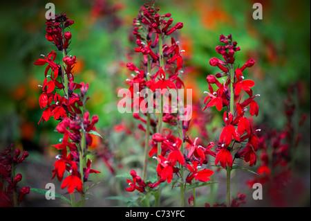 Lobelia Compliment Stock Photo 166846602 Alamy
