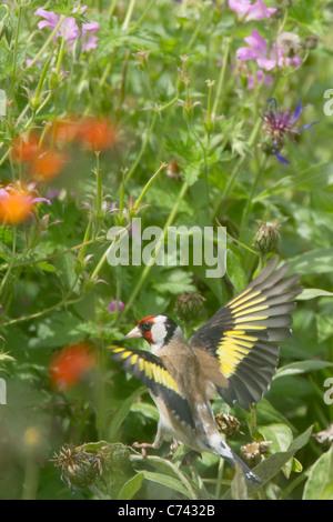 Goldfinch - feeding on flower seeds in garden Carduelis carduelis Essex, UK BI021174 - Stock Photo