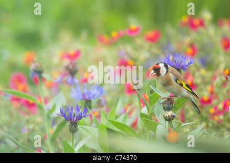 Goldfinch - feeding on flower seeds in garden Carduelis carduelis Essex, UK BI021180 - Stock Photo