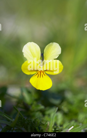 Seaside Pansy (subsp of Mountain Pansy) Viola lutea curtissi Machair of South Uist Outer Hebrides Scotland, UK PL001954 - Stock Photo