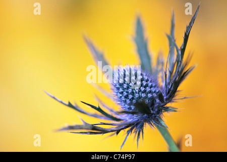 Purple thistle in spring - Stock Photo
