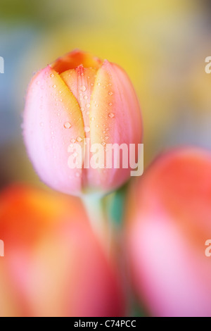 Close up of dew-covered orange tulips in spring - Stock Photo