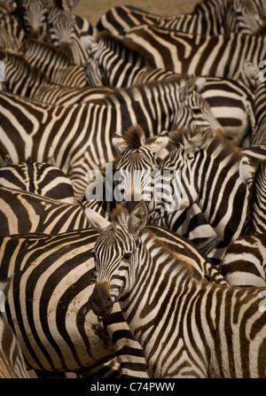 Africa,Tanzania, Serengeti-Burchell's zebras crowded together in waterhole - Stock Photo