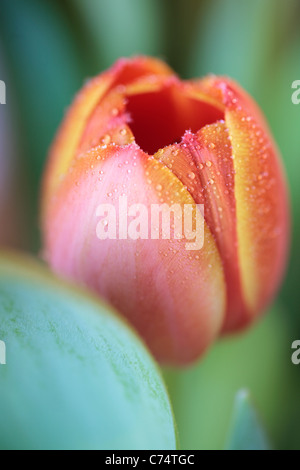 Close up of a dew-covered orange tulip in spring - Stock Photo