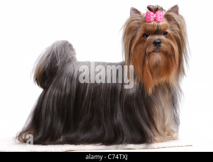 Portrait of yorkshire terrier isolated on white carpet - Stock Photo