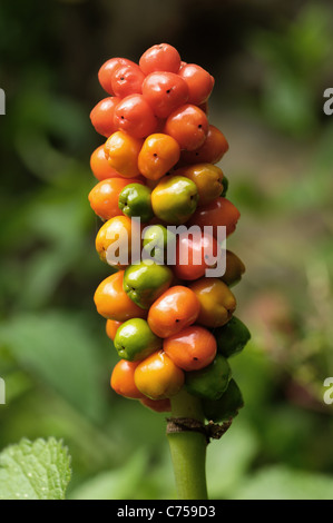 Lords & ladies, wild arum (Arum maculatum) orange fruit in autumn - Stock Photo