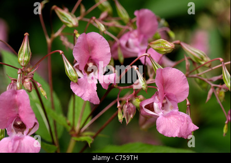 Himalayan balsam (Impatiens gladulifera) flowers and seedpods - Stock Photo