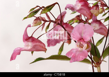 Himalayan balsam (Impatiens gladulifera) flowers and seedpods Stock Photo