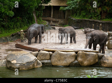 Indian (Asian) elephants and their handlers, Singapore Zoo, Singapore asia - Stock Photo
