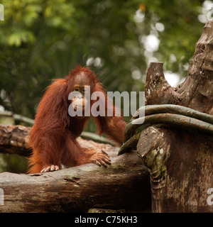 Bornean Orangutan (Pongo pygmaeus) at Singapore zoo, Singapore asia - Stock Photo