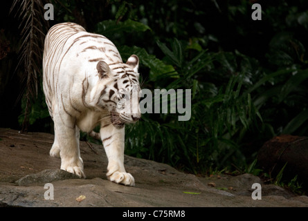 A white tiger walking (Panthera Tigris) in Singapore Zoo, Singapore, Asia - Stock Photo