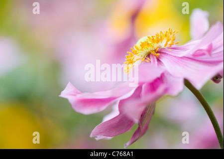 Japanese anemone 'Pretty Lady Emily', Anemone x hybrida 'Lady Emily' - Stock Photo