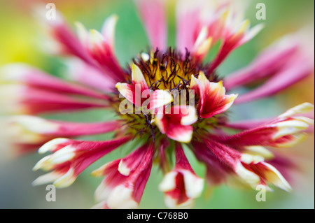 Single Gaillardia 'Pantomime' Blanket flower flowers - Stock Photo