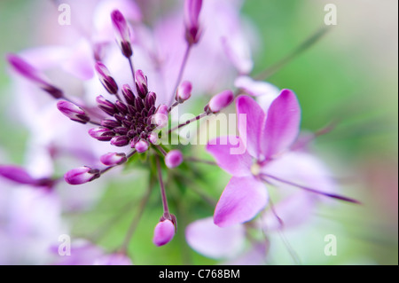 Close-up image of the beautiful summer flowering Cleome hassleriana 'Violet Queen' pink flower - Stock Photo