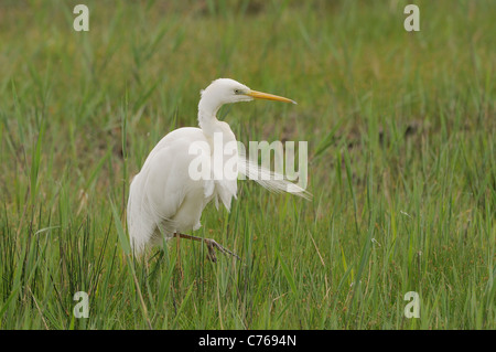 Great White Egret Ardea alba Photographed in the Camargue, France - Stock Photo