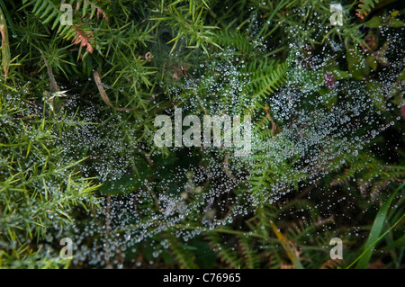 Dew drops suspended on a spiders web - Stock Photo