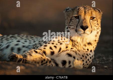 Cheetah (Acinonyx jubatus), Phinda Game Reserve, South Africa Stock Photo