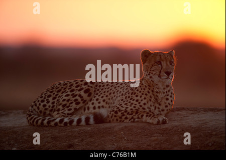 Cheetah at sunset (Acinonyx jubatus), Phinda Game Reserve, South Africa - Stock Photo