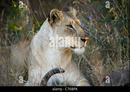 Lion feeding from a kill (Panthero leo), Phinda Game Reserve, South Africa - Stock Photo