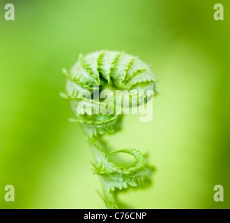 Leaves of a wood fern - Stock Photo