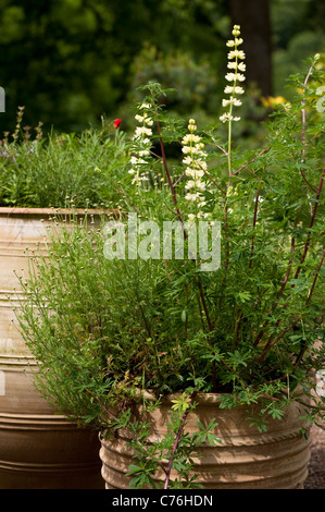 Lupinus arboreus, Tree Lupin, in flower - Stock Photo