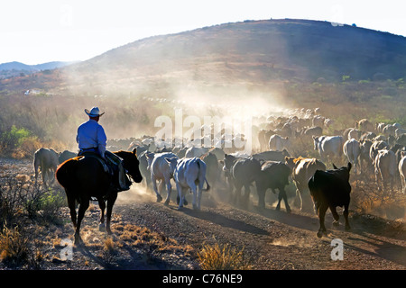 Rancher driving cattle during a roundup before shipping on a West Texas ranch. - Stock Photo