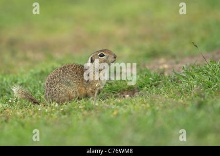 European Souslik or Ground Squirrel (Spermophilus citellus) - Stock Photo
